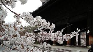 Kirschblüte vor einem Tempel